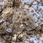 東武動物公園近くの桜♪