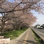宮代町 東武動物公園近くの桜♪